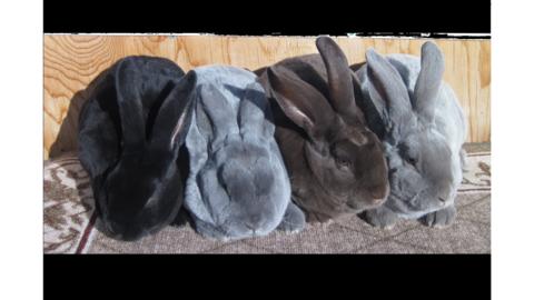 Rabbit Coat Color Genetics